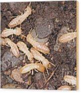 Termite Nest Reticulitermes Flavipes Wood Print by Ted Kinsman
