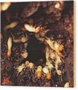Termite Nest Wood Print by Science Source