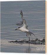 Tern Emerging With Fish Wood Print