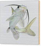 Tete Sea Catfish (hexanematichthys Seemanni), Low Angle View Wood Print