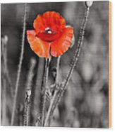 Texas Hot Poppy With Black And White Wood Print by Linda Phelps