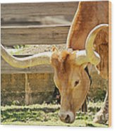 Texas Longhorns - A Genetic Gold Mine Wood Print by Christine Till