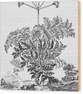 Thapsia Major Latifolia Wood Print