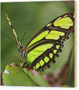 The Beautiful Color Of A Malachi Butterfly Wood Print