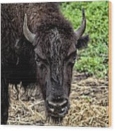 The Bison Stare Wood Print