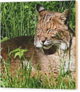 The Bobcat's Afternoon Nap Wood Print