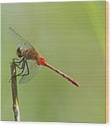 The Dragonfly Hangs On Wood Print