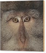 The Face Of A Long-tailed Macaque Wood Print