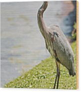 The Great Blue Heron Wood Print