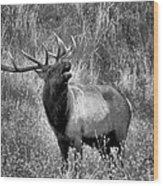 The Harem Bull Wood Print