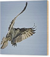 The Magnificent Osprey  Wood Print