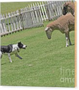 The Stare - Border Collie At Work Wood Print