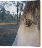 The Staring Eye Of A Clydesdale Horse Wood Print
