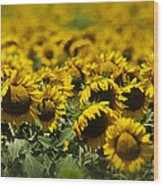 The Sunflower Patch II Wood Print by Lisa Moore