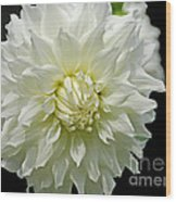 The White Dahlia Wood Print