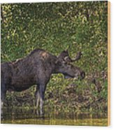 This Is Our World - No.16 - Moose Eating By The Lake Wood Print