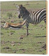 Thomson's Gazelle Running At Full Speed Wood Print