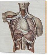 Thoracic Nerves, 1844 Artwork Wood Print