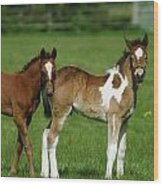 Thoroughbred Foal And Half-breed Wood Print