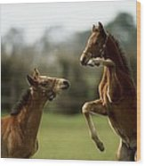 Thoroughbred Foals Playing Wood Print
