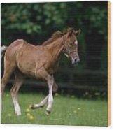 Thoroughbred Horse, National Stud Wood Print