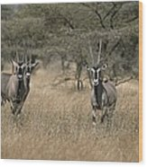 Three Beisa Oryxes In Kenyas Samburu Wood Print