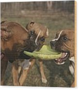 Three Boxer Dogs Play Tug-of-war Wood Print by Roy Gumpel