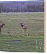 Three Bull Elk Wood Print