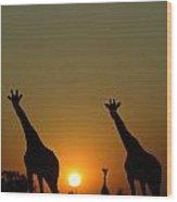 Three Giraffes Stand At Sunset Wood Print