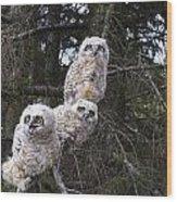 Three Great Horned Owl Bubo Virginianus Wood Print