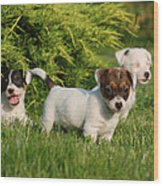 Three Jack Russell Terrier Puppies Wood Print