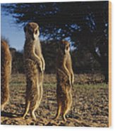 Three Meerkats With Paws Poised Neatly Wood Print