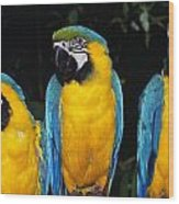 Three Parrots Wood Print