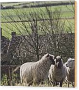 Three Sheep In A Field With Stone Wood Print