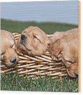 Three Sleeping Puppy Dogs In Basket Wood Print by Cindy Singleton