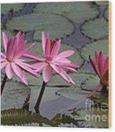 Three Sweet Pink Water Lilies Wood Print