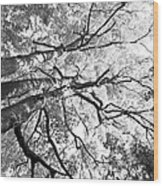 Three Trees Reach For The Sky Black And White Wood Print