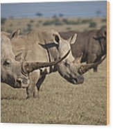 Three White Rhinos Line Up In Solio Wood Print