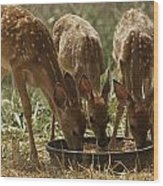 Three White-tailed Deer Fawns Wood Print