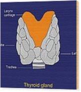 Thyroid Gland, Artwork Wood Print by Francis Leroy, Biocosmos