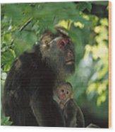Tibetan Macaque Nursing Baby Wood Print