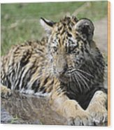 Tiger Cub In A Puddle Wood Print