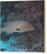 Tiger Grouper Swimming Along The Bottom Wood Print