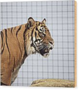 Tiger In Captivity Wood Print