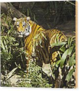 Tiger In The Rough Wood Print