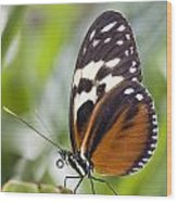 Tiger Longwing Butterfly Heliconius Wood Print