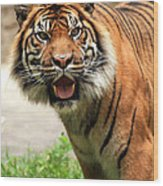 Tiger On The Prowl Wood Print