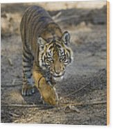 Tiger Panthera Tigris Cub, Native Wood Print