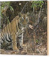 Tiger Panthera Tigris Six Month Old Wood Print