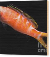 Tiger Queen Anthias Wood Print